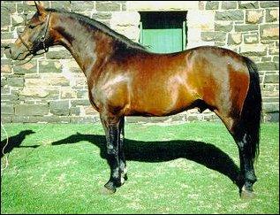 The Boer Horse